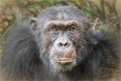 alpha male chimp