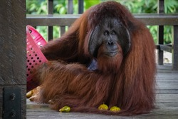 Alpha male orangutan. Solitary powerful adult individual, eating fruits provided by rangers at the natural reserve. Animal with beard and blurry long hair. Sarawak, Malaysia, Borneo, South east Asia