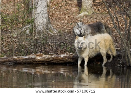 alpha pair of wolves reflected in pond