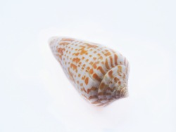 Alphabet cone seashell in isolated background. It is a species of sea snail, a marine gastropod mollusk. Scientific name - Conus spurius. Family -  Conidae.