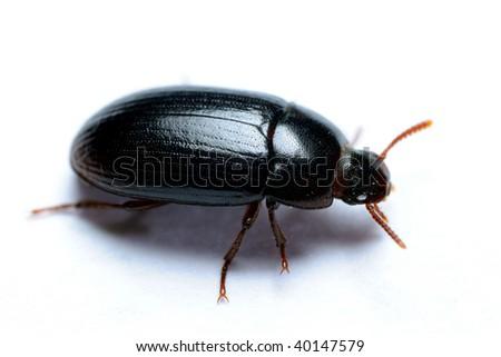Alphitobius diaperinus lesser mealworm beetle