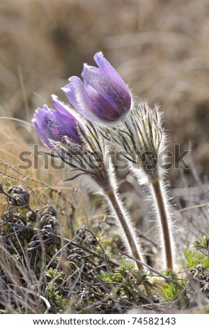 Alpine anemone blossoms in early spring season vertical shot