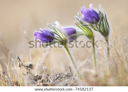 Alpine anemone flower blossoms in early spring season