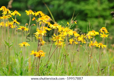 Alpine arnica close up in Carpathians, flower growth on 1600 m above-sea level. Selective focus.