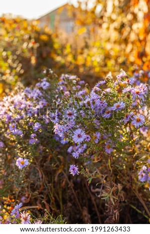 Alpine Aster (Aster alpinus). Decorative garden plant with blue flowers. Blooming carpet of purple aster dumosus. Autumn nature background with beautiful perennial asters flowers. Foto stock ©