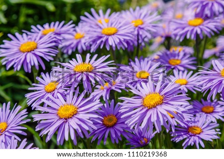 Alpine Aster (Aster alpinus) . Decorative garden plant with purple flowers. Beautiful perennial plant for rock garden.