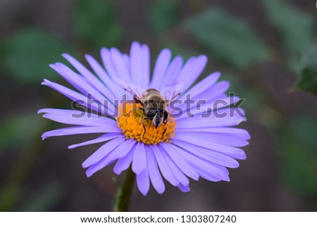 Alpine aster purple or lilac flower with a bee collecting pollen or nectar. Purple flower like a daisy in flower bed.