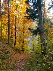 Alpine autumn landscape: hiking way through golden yellow forest with red leaves on the path and the sun shining through branches
