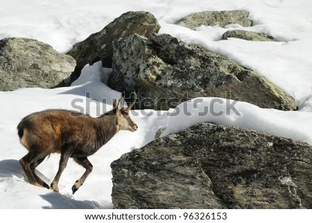 alpine chamois (Rupicapra rupicapra) running