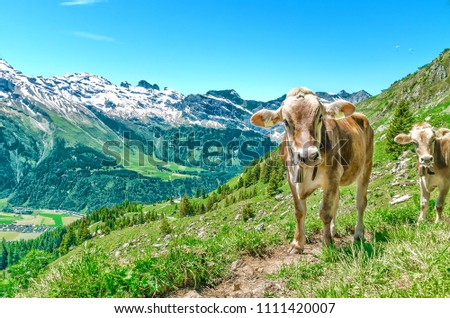 Alpine cows ringing with bells on their neck graze in the mountains of Switzerland