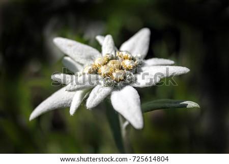 Flower Leontopodium Alpinum Ez Canvas