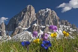 alpine flowers in Dolomites