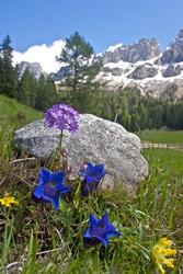 Alpine flowers in the Dolomite