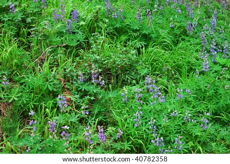 Alpine flowers on mountain meadow, Olympic national park, Washington, USA