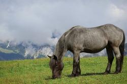 Alpine Grey Horse Grazing on Grass Meadow in Tyrol. Gray Equus Caballus in Karwendel Alps in Austria.