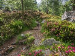 Alpine hiking trail with flowering Alpine rose (Rhododendron ferrugineum) shrubs and Larch trees, Hoha Tauern, Austria
