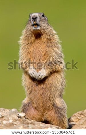Alpine Marmot in Alps #1353846761