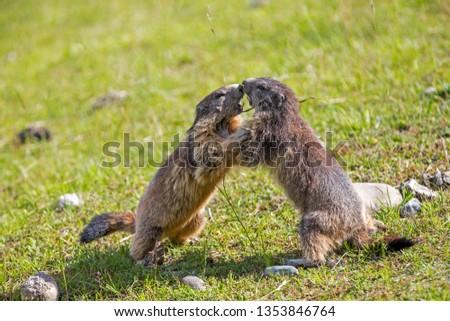Alpine Marmot in Alps #1353846764
