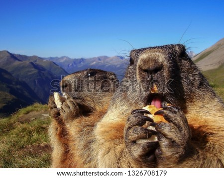 Alpine marmot like a symbol of groundhog day. Animals eats food in nature. Alps scenery with marmots in summer.