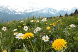 Alpine meadow with spring flowers. Swiss Alps mountains