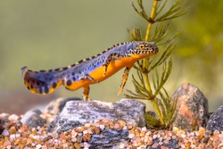 Alpine newt (Ichthyosaura alpestris) colorful male aquatic amphibian swimming in freshwater habitat of pond. Underwater wildlife scene of animal in nature of Europe. Netherlands.