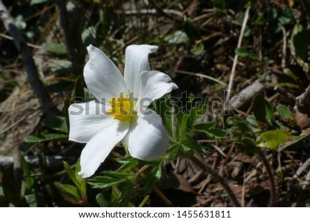 Alpine pasqueflower or alpine anemone (Pulsatilla alpina), delicate white flower of meadows in green and brown background - near Klippitztörl mountain pass, Austrian Alps, Federal State Carinthia. #1455631811