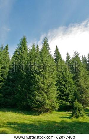 Alpine plateau with fir trees