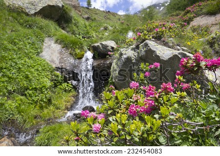 Alpine Rose (Rhododendron Hirsutum) in the Alps. Blooming wildflowers in the European Alps. The Alpine Rose was seen in the Schnalstal Valley, South Tyrol. Focus in foreground on the wildflowers.