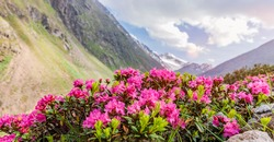 Alpine roses in the mountains