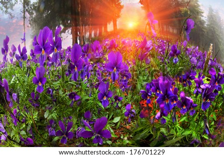 Alpine slopes affected by felling trees, overgrown with grass and flowers in the beginning, for example, Viola tricolor. Thick fog wrapped the earth, rain drops stoop thin petals