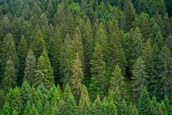 Alpine spruce forest on a hill. Plantation of spruce trees. Top down aerial view. Green spruce on the slope aerial view from the side. Background forest view from above, green forest nature texture