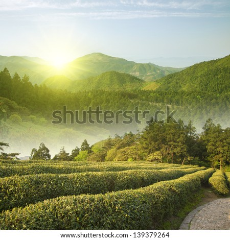 Alpine Sunrise tea plantations