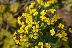 Alpine Wallflower Golden Gem yellow flowers - Latin name - Erysimum Golden Gem