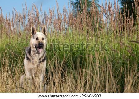 Alsatian dog at field. Summer.