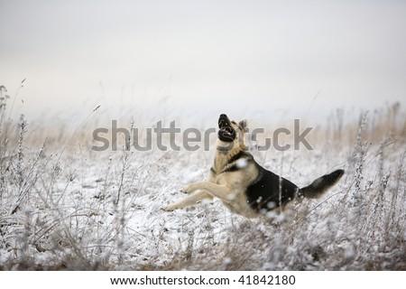 Alsatian dog at winter field