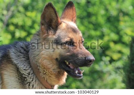 alsatian dog, german shepherd head and shoulders