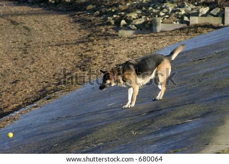 Alsatian dog (german shepherd) on beach slope with ball