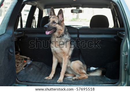 Alsatian dog in back seat of car. Pet transportation
