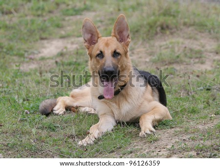 alsatian dog laying on grass