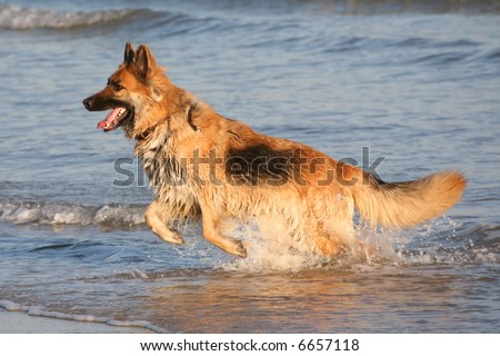 Alsatian dog leaping from the sea