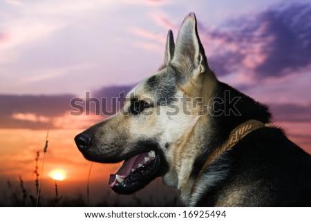 Alsatian dog looking at sunset