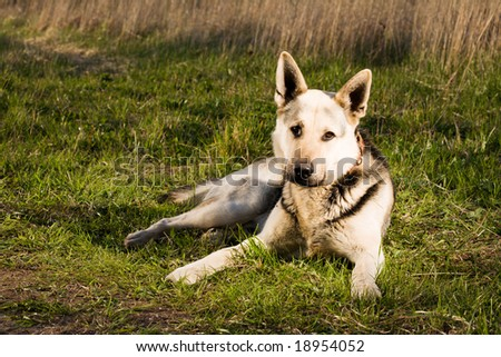 Alsatian dog lying at field.