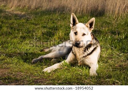 Alsatian dog lying at field.