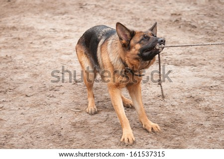 alsatian dog playing and pulling the rope