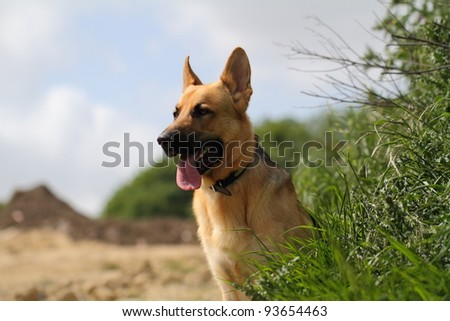 alsatian dog sitting against trees and blue sky