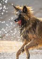 Alsatian puppy dog German Shepherd looking ferocious bearing teeth trying to attack water from hose pipe. Sharp canine teeth close up of guard dog playing and protecting property.