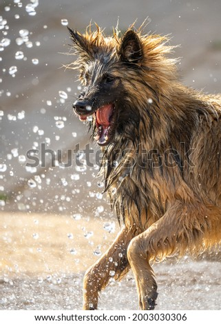 Alsatian puppy dog German Shepherd looking ferocious bearing teeth trying to attack water from hose pipe. Sharp canine teeth close up of guard dog playing and protecting property. Stock photo ©