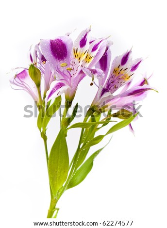Alstroemeria bouquet isolated over white