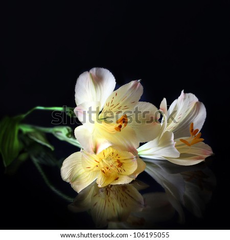 Alstroemeria Lilly flowers in black background