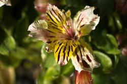 Alstroemeria 'Little Miss' Matilda Closeup